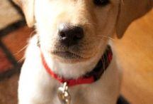 Kutyák fajtái, házi kedvencek / A kutyák méretei, viselkedése, betegségei.Tartása.