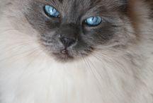 ragdoll cats / by Janet Kestle