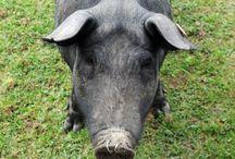 4H Large Animals / Swine, Beef, Horse, Alpaca