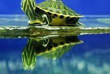 turtles, tortoise, schildpadden / turtles, tortoise, schildpadden