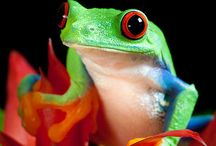 The Red Eyed Tree Frog / The Red Eyed Tree Frog is often used as a symbol of rainforest conservation around the world. Although it has striking red eyes, it's not actually poisonous and the red is just to startle away predators!