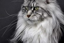 Maine Coon in the World