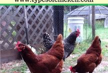 Chickens! / Everything chickens - breeds information, coops, tractors and photos. NO recipes thanks you will be blocked