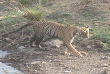 India Wildlife Travel / If you are looking for a wildlife travel in India, then you are at the right place. We at Gets Holidays provides end-to-end India wildlife travel solutions, plan and implement tours in different parts of India.