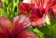 Hibiscus care & flowers / Gardening