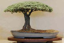 That special bonsai