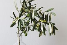 research olive