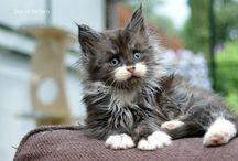 Maine coon kitties