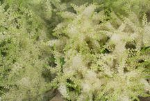 Astilbe / A selection of awe-inspiring astilbe, available at New Covent Garden Flower Market