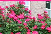 How and When to prune knock out rose bushes.