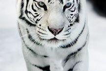 tiger white