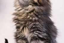 Maine Coons / Cats