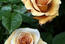 jjMassages: Essential Oils - Rose