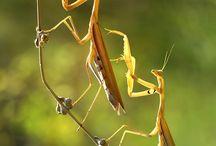 105.   Mantis / Bidsprinkhaan