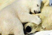 niedźwiedź polarny (polar bears)