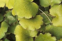 Saxifraga (pianta) / Magnifiche saxifraghe, tappezzanti sempreverdi di facile espansione e dal magnifico fogliame