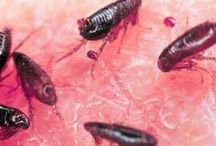 get rid of bed bugs / here's you will discover how to get rid of bed bugs, from your garden, pets and much... much more. Please visit our website how to get rid of bed bugs http://katelynalainstudio.com