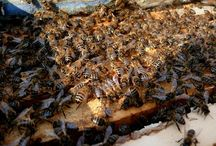 Bier og Humler