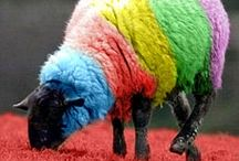 Sheep / Rainbow sheep are cute