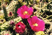 opuntia / opuntia, cactus, plants, bloom, succulents,giromagi