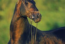 Akhal Teke / Beautiful horse, just great.