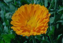 Orange Flowering Herbs