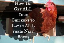 HOW TO GET  YOUR CHICKENS TO LAY  all  THEIR  eggs in one place