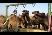 Camel Trekking Morocco / We provide camel trekking in the Sahara desert Morocco with guides and drivers well versed in the local culture and traditions and speak Arabic, Berber, French and English. / by Your Morocco Tour