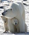 polar bears / by Sandy Mennenga