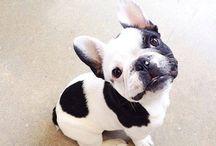 bulldog frances / animales de compañia