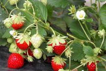plants fruitiers