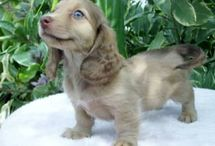 Cute Puppies / lindos cachorros