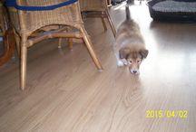 """dit is mijn pup die ik nu heb!! een schattige schotse collie """"Marche"""" / over mijn eigen puppie"""