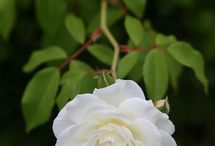 Rose / White rose