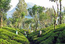 Nuwara Eliya / Ville du Sud du Sri Lanka, Elle vous charmera par ses magnifiques paysages et ses plantations de thé!