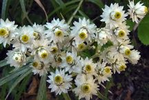 Immortelle blanche - Pearly everlasting / Anaphalis margaritacea