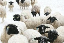 Schaf Und Stuff