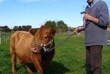 Dexter cattle