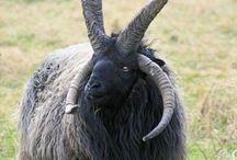 the alternative evil sheep