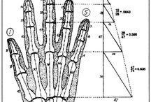 fibonacci proportions