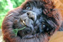 cheeky lamas