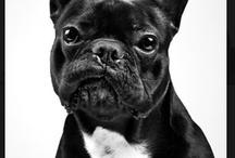 Bulldogs franceses  / Son una rasa de perro
