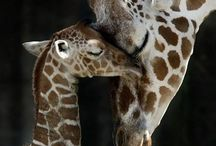 GIRAFFES / The amazing animal with the long neck....