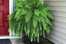 Tropical Ferns