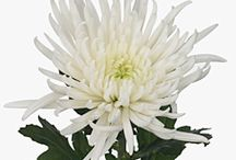 Chrysanthemum Blooms / Different varieties of fresh cut Chrysanthemum Blooms specifically grown for the wholesale flower trade. These Chrysanthemums are disbudded to produce a large single flower head.