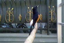 9 Cara Membuat Burung Nagen dan Mencegahnya Turun dari Tangkringan
