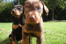 Pups  / Pictures of the cutest Doberman Pups <3