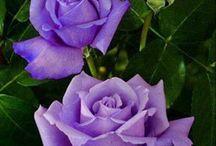 roses galour