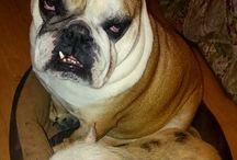 Załoga Bulldoga / Załoga Bulldoga to fundacja pomagająca bulldogom i mopsom. Znajdź nas na Facebook'u i odwiedź nasze forum http://www.forum.zalogabulldoga.org/index.php