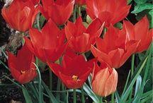 Garden: For the love of Bulbs / Bulbs & bulb-like bloomers